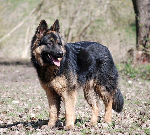 deutsche ddr schäferhunde